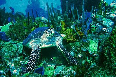 dom_turtle